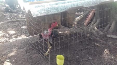 PM Ambiental resgata 30 galos usados em rinha e aplica multa de R$ 90 mil