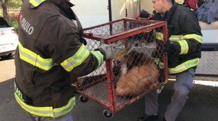 Bombeiros capturam lobo-guará em casa na região do Parque dos Pioneiros