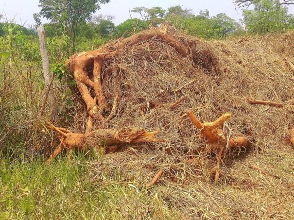 Sitiante recebe multa de mais de R$ 16 mil pela derrubada de 54 árvores nativas em Martinópolis