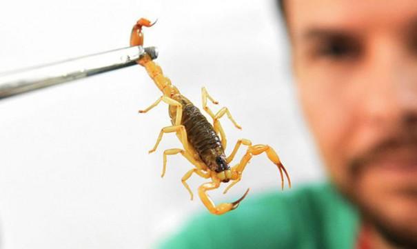 Vigilância Epidemiológica de OC orienta sobre o que fazer em caso de picada de escorpião