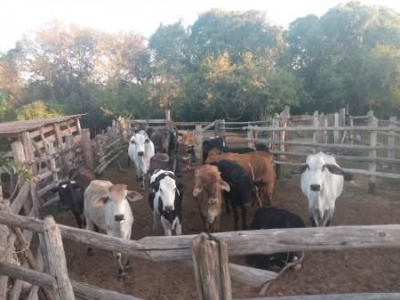 Após prisão de suspeito, polícia localiza centenas de cabeças de gado furtadas