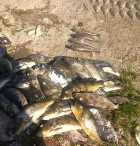 Pescadores relacionam morte de peixes com queda no nível do Rio Paraná após redução de vazão em usina hidrelétrica