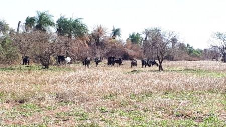Assentado é autuado em R$ 21,3 mil por pastoreio de bovinos em área de regeneração natural