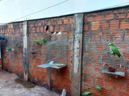 Moradora de Álvares Machado é autuada em R$ 2,5 mil por manter em cativeiro cinco papagaios-verdadeiros