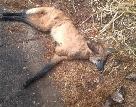 Polícia Ambiental resgata lobo-guará atropelado na Rodovia General Euclides de Oliveira Figueiredo