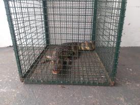 Jacaré de mais de um metro é capturado em Regente Feijó e devolvido à natureza