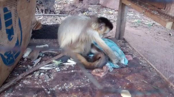 Homem recebe advertência por manter macaco-prego em cativeiro sem autorização