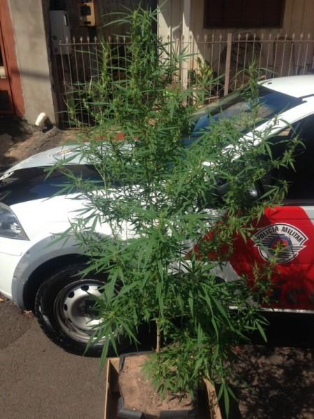 Polícia Militar apreende dois pés de maconha em residência em Osvaldo Cruz