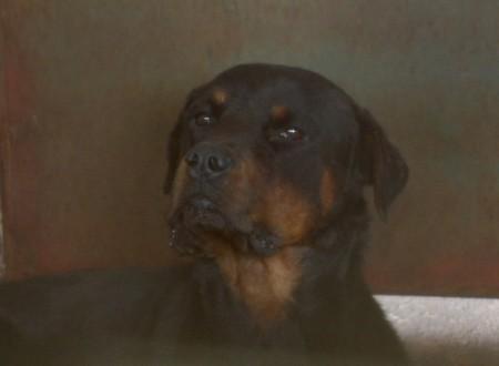 Cão da raça rottweiler que matou idosa, está 'saudável' e deverá ser encaminhado para a adoção